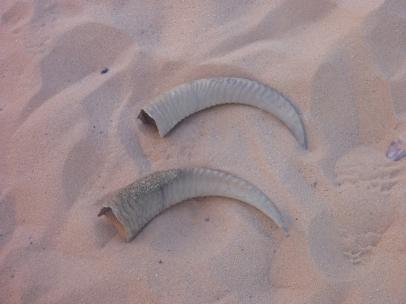 Mouflon horns