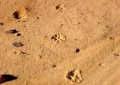 Leopard tracks near Jabbaren