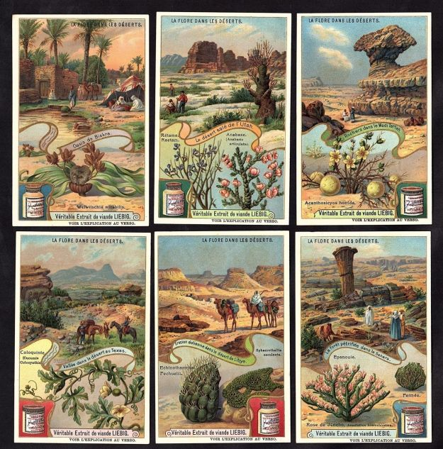 Sahara plant