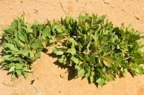 Deadly effelellah plant